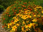 Tagetes tenuifolia pumila (Starfire)